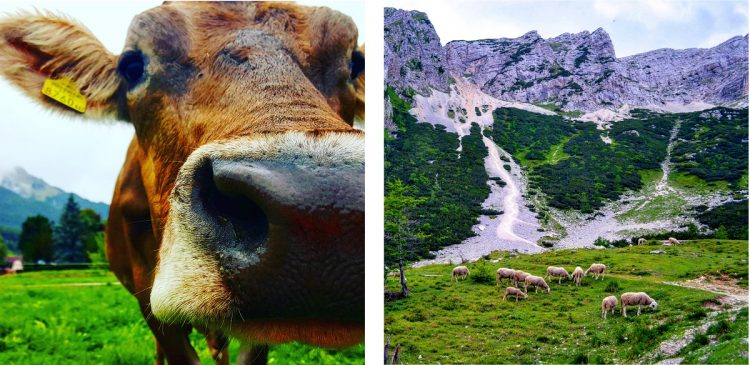 almabtrieb spęd bydła